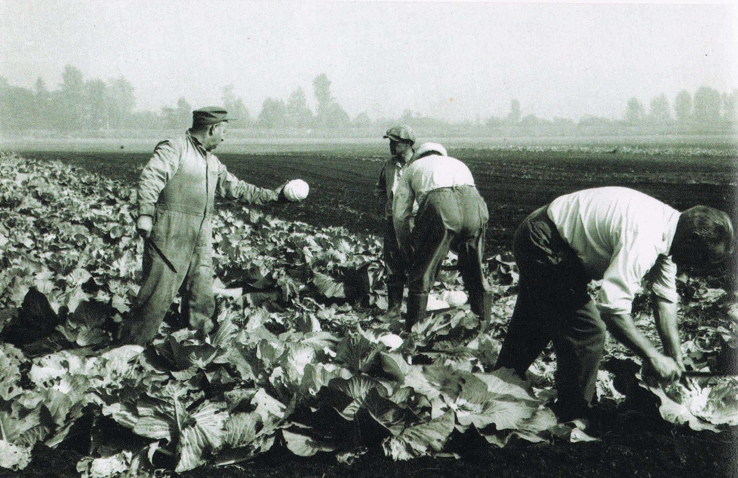 3 men in a field harvesting cabbages.